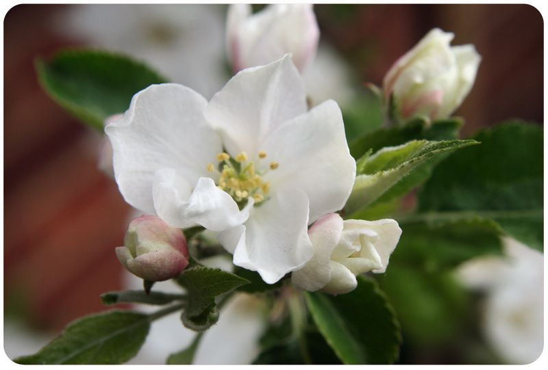 Apple blossom macro