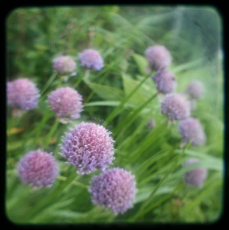 TTV chives