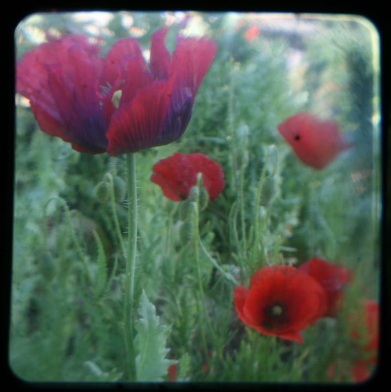 TTV poppies