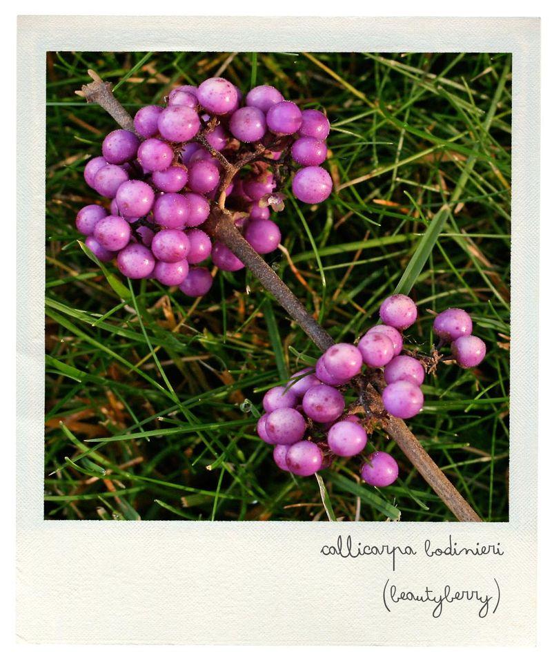 Beautyberry pola