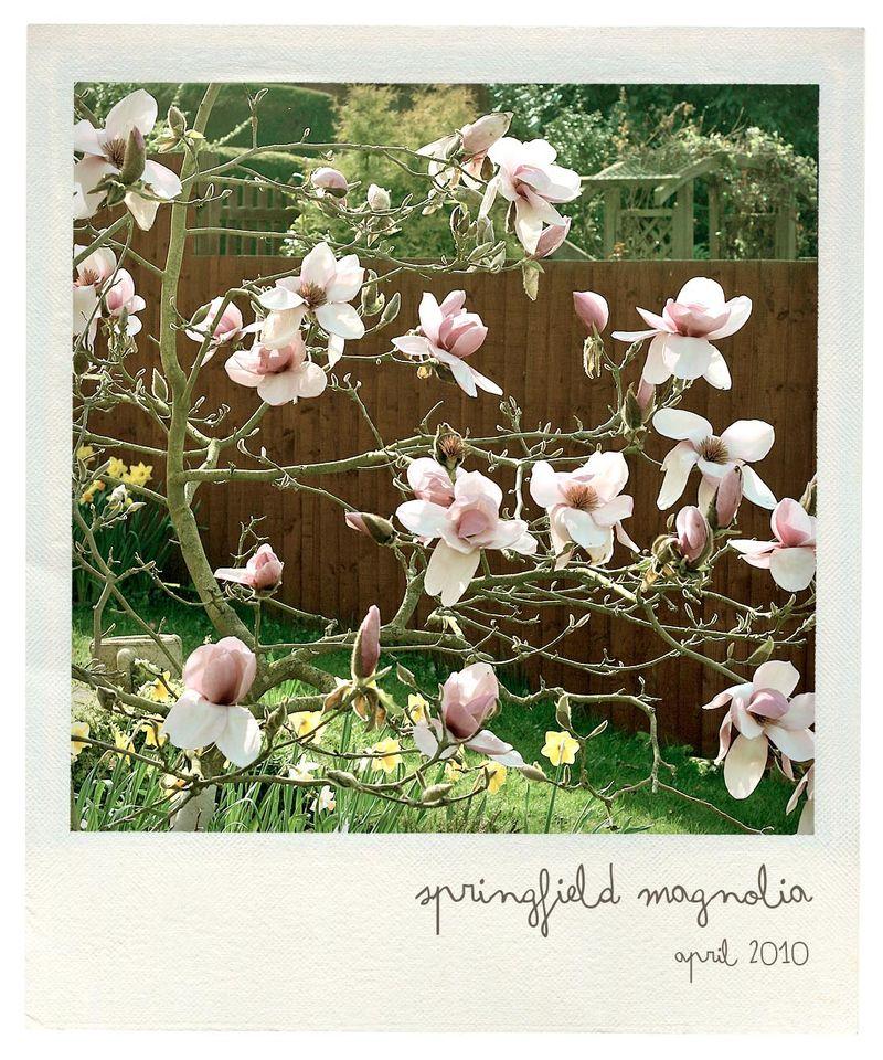 Magnolia pola