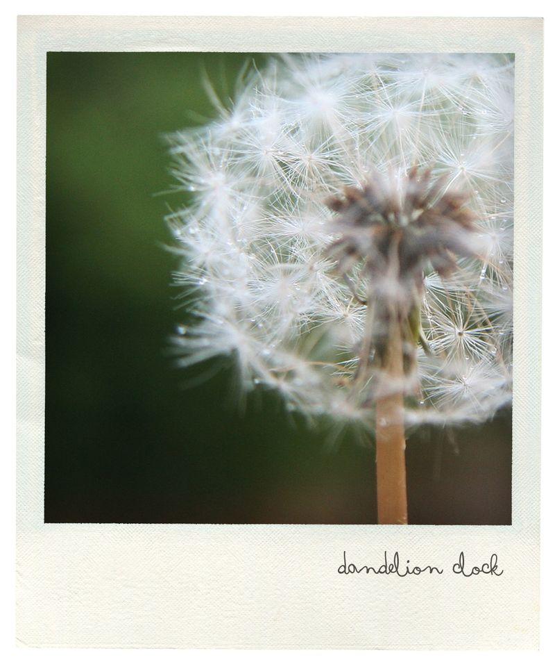 Dandelion pola
